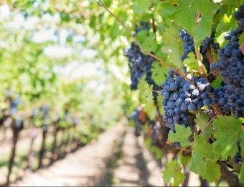 Subvenciones para la reestructuración y reconversión del viñedo